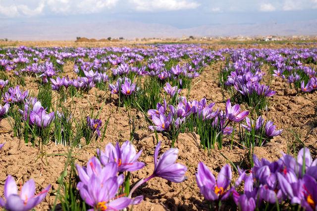 پیش بینی برداشت 140 کیلو زعفران در شهرستان فریدن