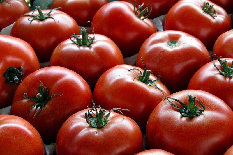 تولید گوجه فرنگی ارگانیک توسط بانوی کار آفرین البرزی