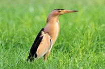 یک پرنده بوتیمار در منطقه حفاظت شده قمصر و برزک کاشان رهاسازی شد