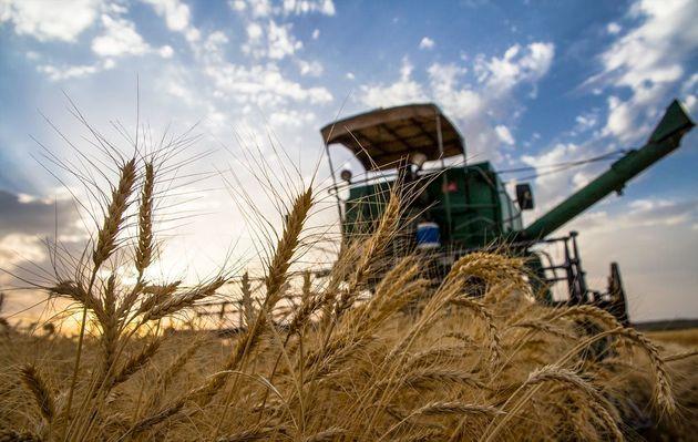 رشد ۲۵ درصدی تولید گندم در سال جاری