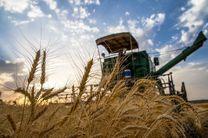 خرید تضمینی گندم سیاست نیست، قانون است / 4 میلیون تن گندم ممتاز در کشور