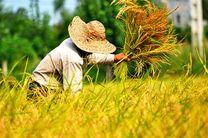 گیلان رتبه نخست سطح زیرکشت و رتبه دوم تولیدکننده برنج کشور