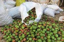 برداشت بیش از 170 تن گردوی سبز در ایذه