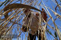نمایندگان به قیمت خرید گندم اعتراض کردند