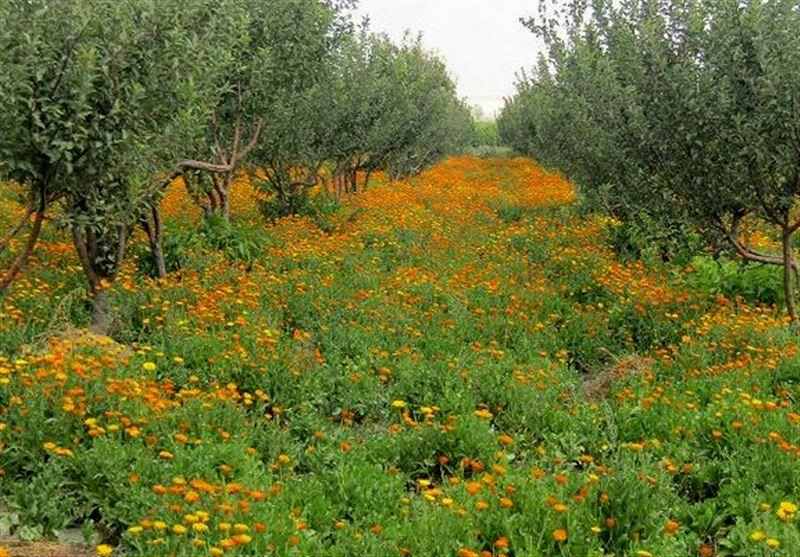 آغاز کشت گیاهان دارویی در استان اصفهان