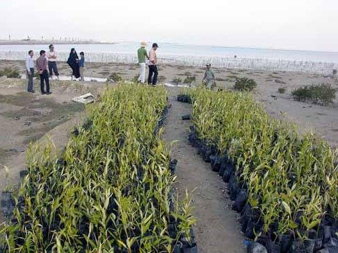 تولید ۸۰ هزار اصله نهال حرا در جزیره قشم