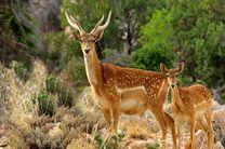 ایلام موفق ترین سایت تکثیر و پرورش گوزن زرد ایرانی در کشور است