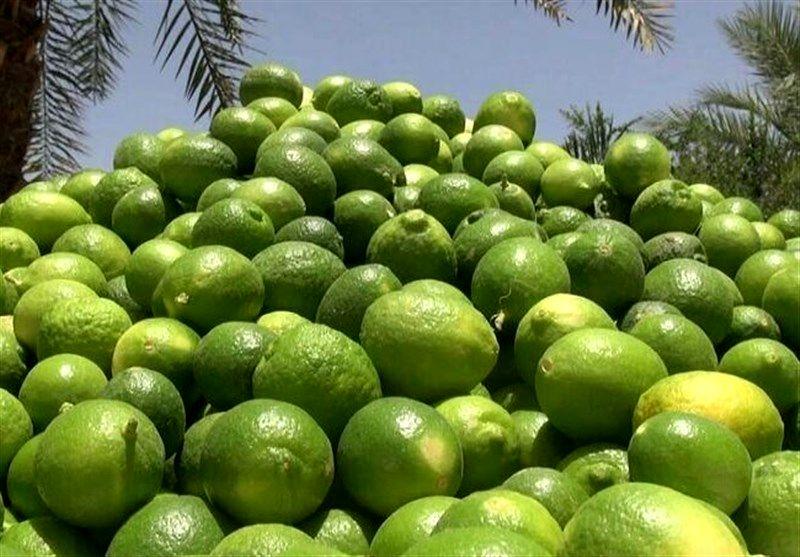 برداشت لیمو ترش از باغهای توکهور وهشتبندی آغاز شد