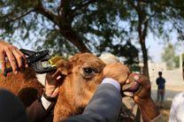 آغاز پلاک کوبی شترها در شهرستان بندرلنگه