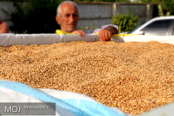 خرید گندم از ۹ میلیون تن گذشت