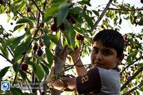 برداشت گیلاس در بیش از 800 هکتار از باغات استان همدان