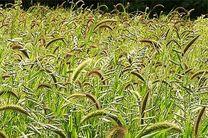 مبارزه با علف های هرز در بیش از 88 هزار هکتار از مزارع گندم و جو در اصفهان