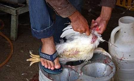 واردات مرغ از عربستان ممنوع شد