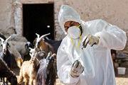 واکسیناسیون رایگان بیش از ۶ هزار رأس دام سنگین در دالاهو