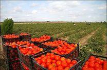 دست دلال ها در بازار سیاه گوجه فرنگی / گوجه فرنگی گلخانه ای در راه است