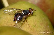باغداران هزینهای بابت مبارزه با آفت مگس زیتون پرداخت نکنند