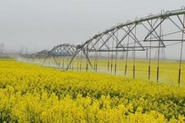 خرید ۴ هزار تُن کلزا به صورت تضمینی از کشاورزان خراسان رضوی