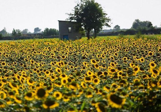 تولید ۳۲۰۰ تن دانه روغنی آفتابگردان در گلستان