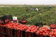 آغاز برداشت گوجه فرنگی از مزارع شهرستان نیشابور