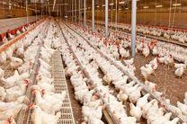 عامل نابسامانی بازار مرغ تنها کمبود نهاده ها نبود / دلالی در بازار جوجه نابسامانی جدید