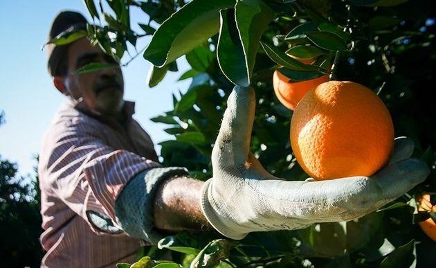 آغاز برداشت پرتقال از باغهای هرمزگان