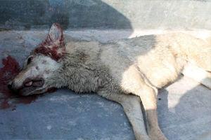 حمله گرگ گرسنه به 5 کشاورز در گلپایگان