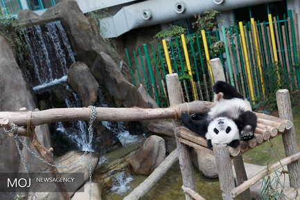 نگهداری و مراقبت از پانداها در چین