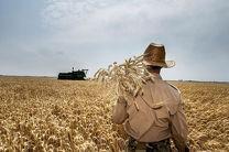 برداشت گندم در شهرستان بستک آغاز شد