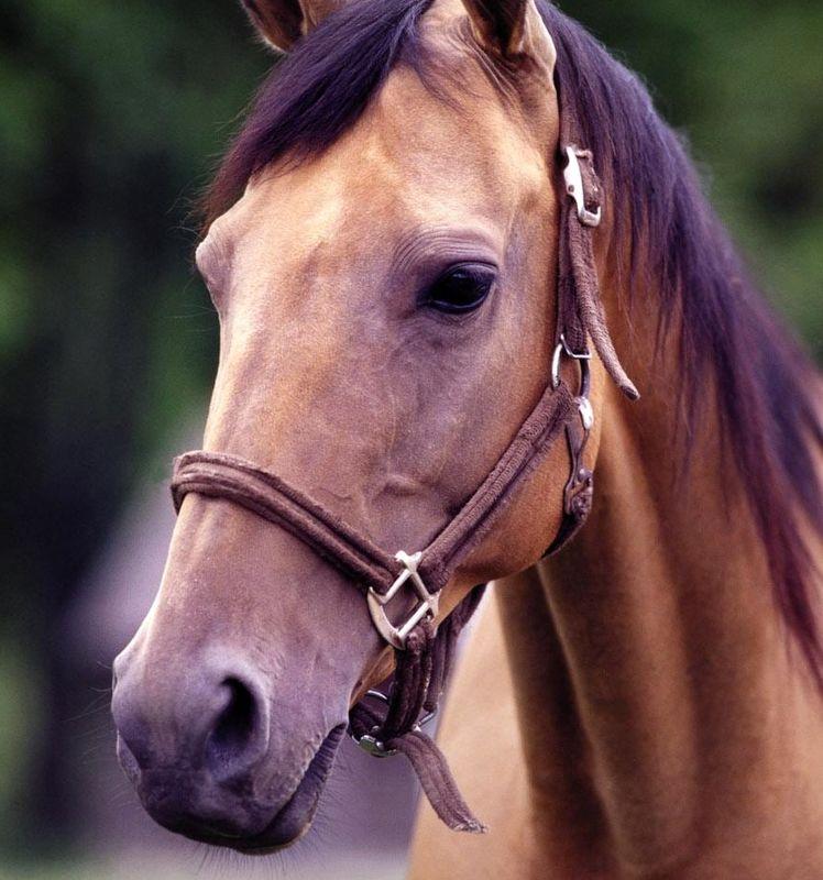اسب های بومی محلی گیلان ساماندهی می شوند