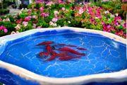 تعیین چهار نقطه از سطح شهر سنندج  جهت رها سازی ماهی قرمز