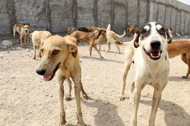 تشکیل فوری کمیته ویژه نظارت بر جمع آوری سگ های ولگرد  در هرمزگان