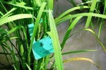 مبارزه بیولوژیک با ساقه خوار برنج در 1700 هکتار شالیزار بهشهر