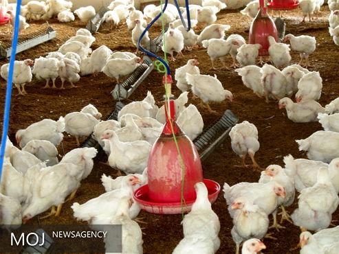 ۷۰ درصد عرضه واکسن های طیور موسسه رازی در مرغداری ها افزایش یافت