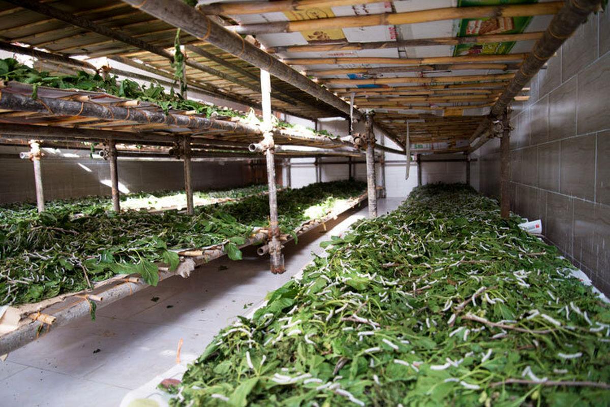 توزیع ۱۵ هزار جعبه تخم نوغان در بین کارگاههای تولید کرم ابریشم خراسان رضوی