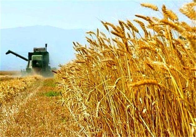 رشد ۱۱ درصدی خرید گندم خراسان رضوی نسبت به سال گذشته
