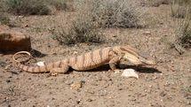 رهاسازی یک بزمجه بیابانی در زیستگاه طبیعی اصفهان
