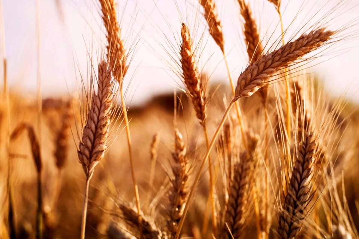 340 تن گندم از کشاورزان بابلی خرید تضمینی شد