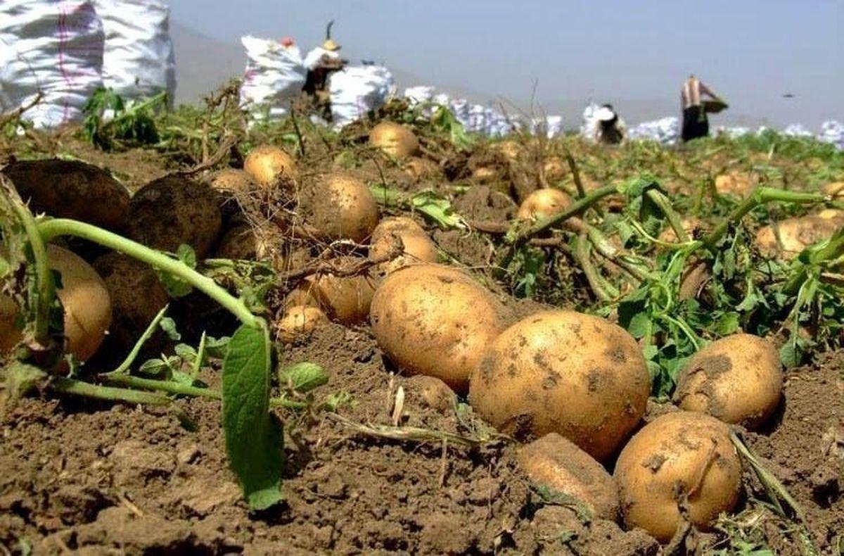 بررسی ارتباط اثر تاخیر کاشت در سیب زمینی و بهره وری مصرف آب