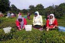 برداشت 21 هزار تن برگ سبز چای توسط چایکاران رودسر