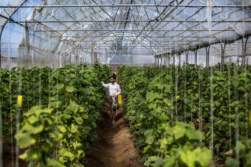 370 هکتار از اراضی کشاورزی اردبیل به زیر کشت محصولات گلخانه ای می رود