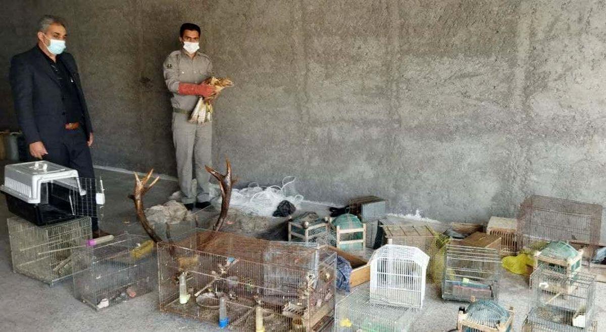 کشف 50 قطعه پرنده شکاری و زینتی در مشگین شهر