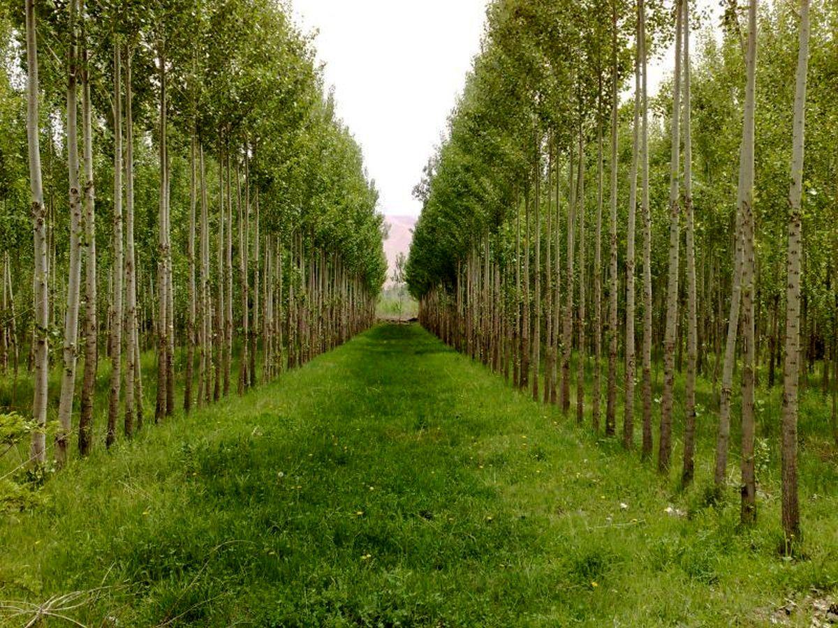 قابلیت توسعه زراعت چوب در شهرستان های جنوبی/قلمه زنی 800 هزار اصله نهال صنوبر در ملایر