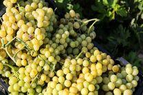 پیش بینی برداشت بیش از 4000 هزار تن انگور از تاکستانهای شهرستان برخوار