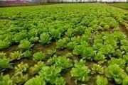 تولید 1100 تن کاهو در اراضی شالیزاری قائمشهر