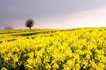 بیش از 50 هزار هکتار از مزارع گندم و کلزای گلستان خسارت دیده اند