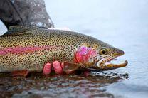 عاری بودن وضعیت طرح کلان فناوری تولید ماهی قزل آلای رنگین کمان از بیماری(SPF)