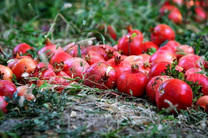 پیش بینی برداشت 15 تن انار از هر هکتار در شهرستان گرمی