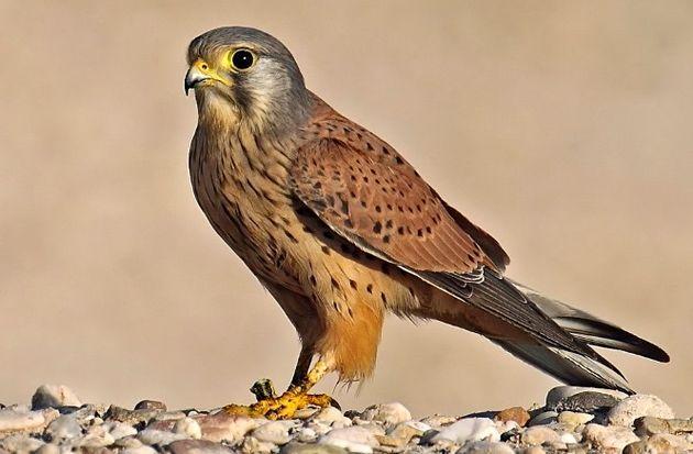 رهاسازی یک پرنده شکاری دلیجه در سمیرم
