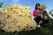 تولید 50 درصد گل نرگس مازندران در جویبار