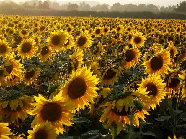 خریداری 144 تن دانههای روغنی آفتابگردان از کشاورزان کرمانشاهی